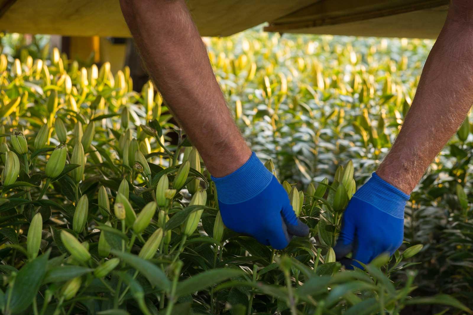 Lempens bloembollen Boeren van Nederweert