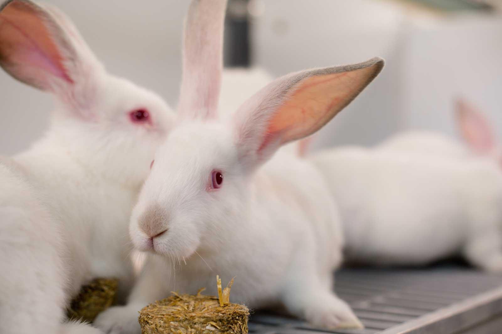 boeren van nederweert Noordman konijnen